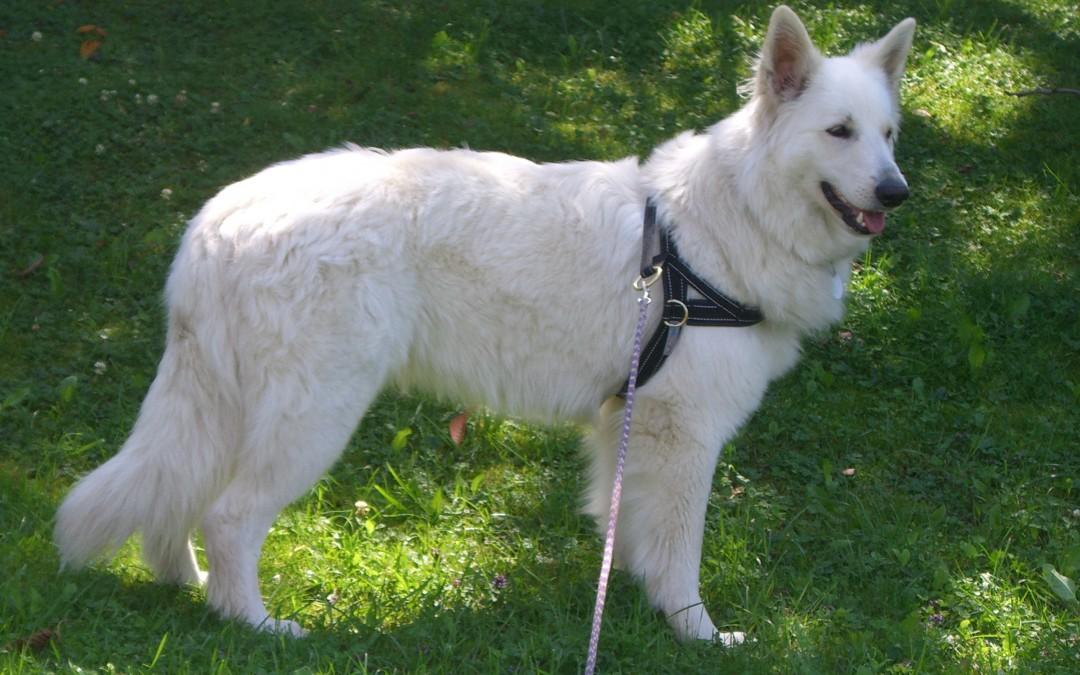 """Chicca"", Berger Blanc Suiss, Praktikantenhund"